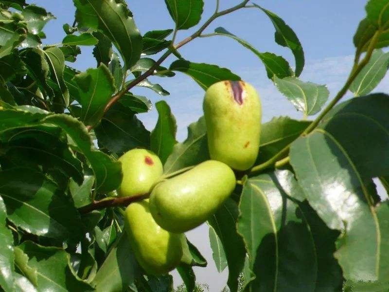 枣树缩果病危害果实?了解发病规律,综合防控最有效