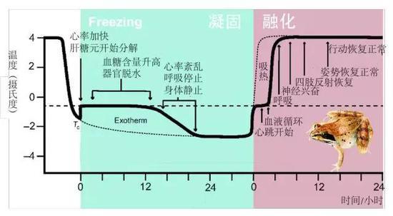 冬眠是什么原理,人未来可以实现冬眠吗?