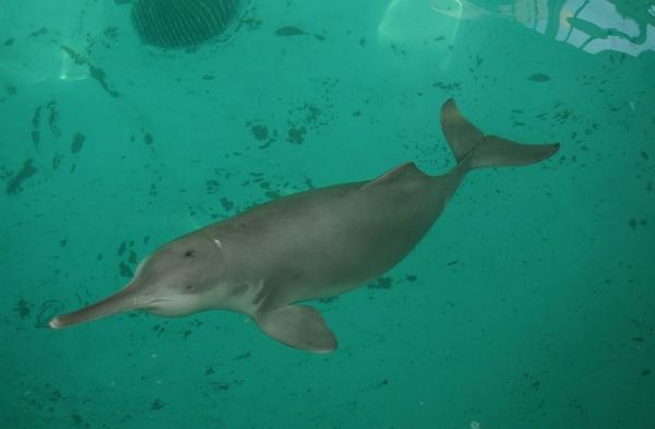中华白海豚带崽春游,同为水中大熊猫,它和白鳍豚有什么不同?