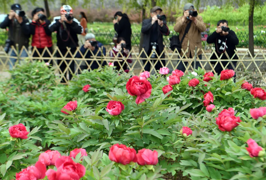 牡丹花开正当时,邀你一起来亳州赏花