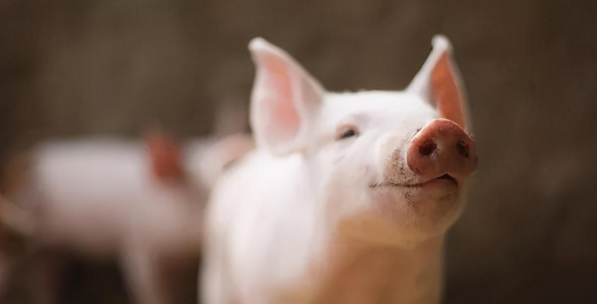 猪伪狂犬病该怎么预防_猪伪狂犬病的治疗方法