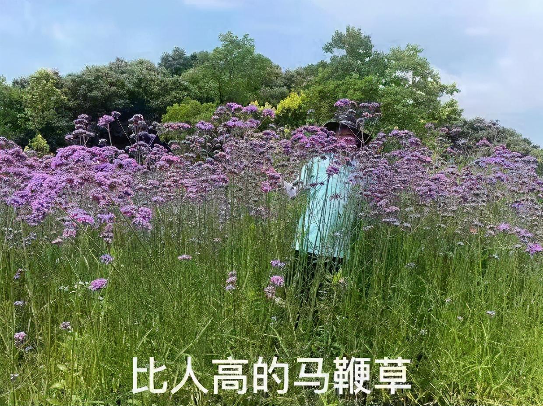 """信陽最大的紫色花海""""生病""""了!村民代表赴鄭求醫救治""""扶貧草"""""""