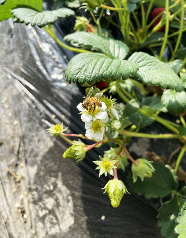 新春走基层 | 春天的脚步近了,腰站的草莓熟了……