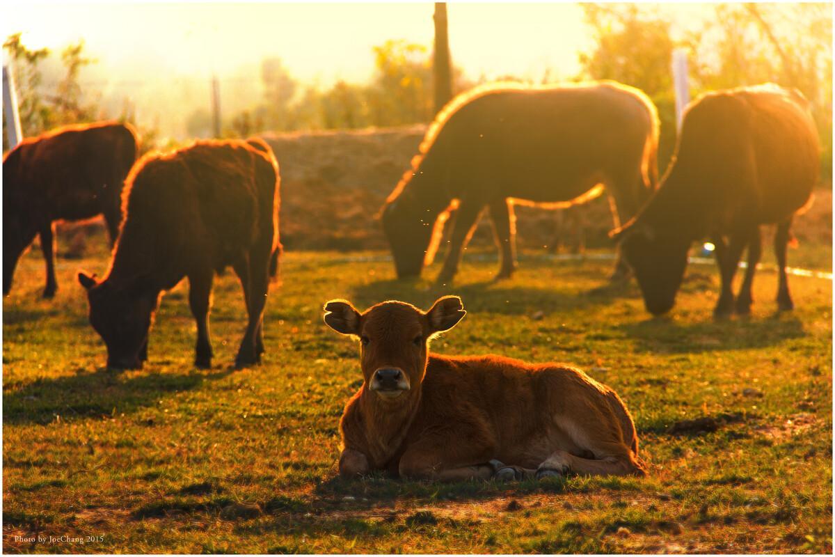 """""""一點情面都不留了"""",5萬頭活牛訂單出爐,澳大利亞被排出門外"""