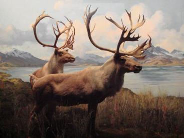 中国失而复得的四不像动物——麋鹿,它们的命运是怎样的?