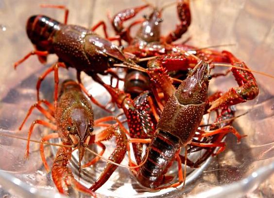 小龙虾养殖的图片 第1张