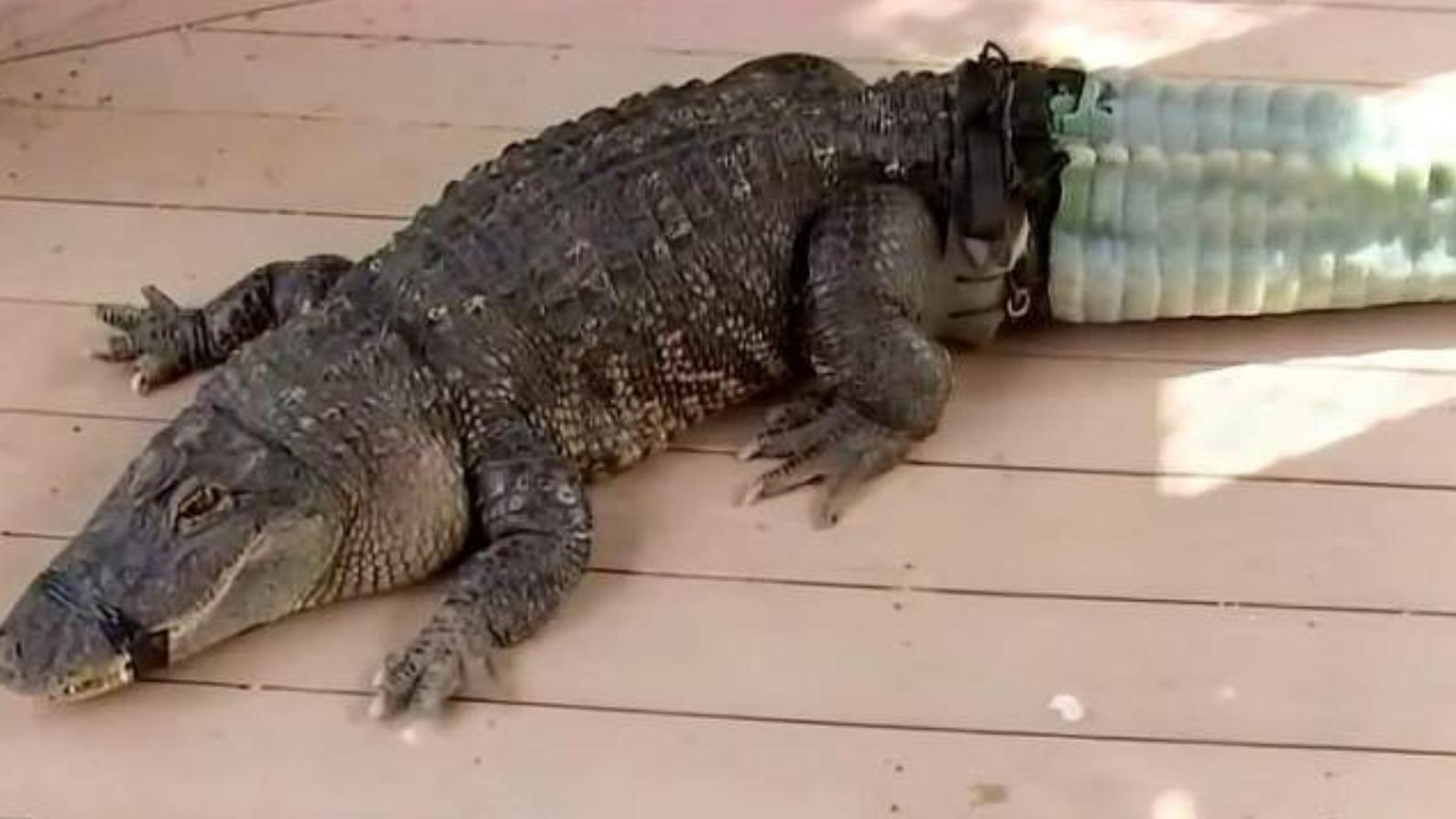 连鳄鱼都在它们食谱上,号称水中之狼的水獭到底有多强!