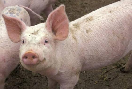 转涨,行情一改低迷之态势!猪价已经迎来阶段性反弹态势?