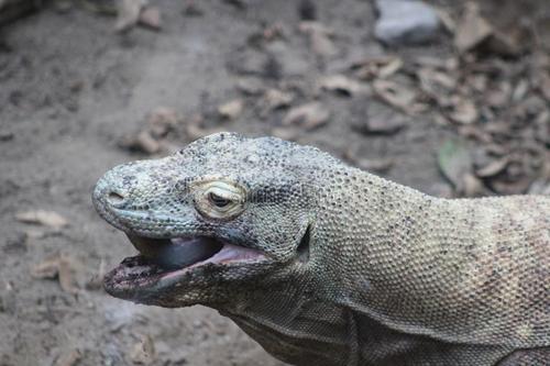 被称为龙的科莫多巨蜥咬了一口还有救吗?