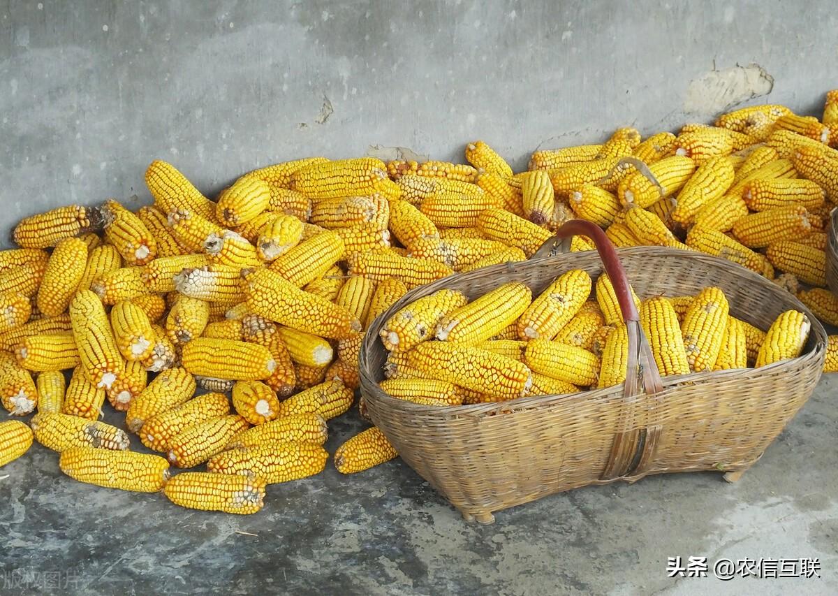 """1.55亿人面临粮食危机,粮价暴涨!中国玉米价格要""""一飞冲天""""?"""
