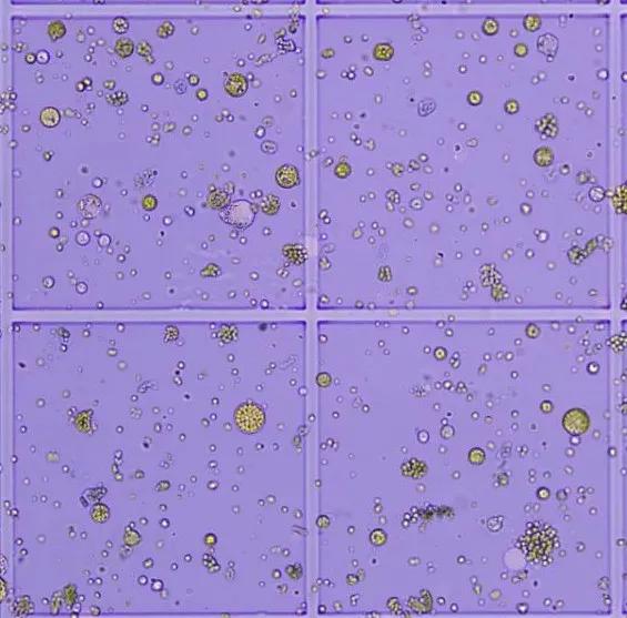 植物单细胞8连发,欧易生物原生质体分离获得重大突破