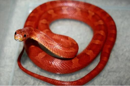 「原创」爬虫的小可爱至宠物蛇