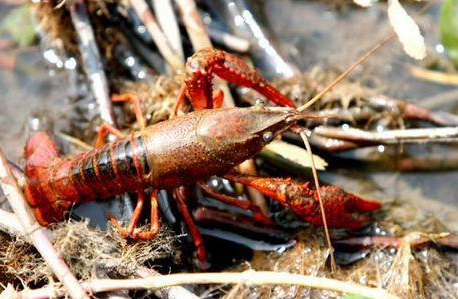 小龙虾养殖的图片 第5张