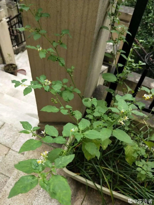 院子长出9种草,看到就铲除,留着就是大祸害 养花小妙招 第33张