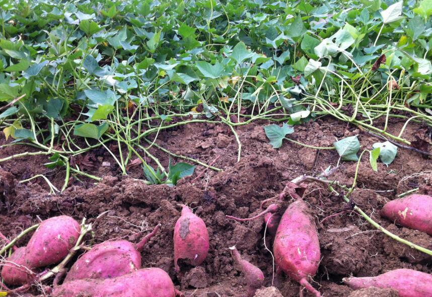 怎么种出又大又甜的红薯?翻藤提蔓很关键,很多人做不对