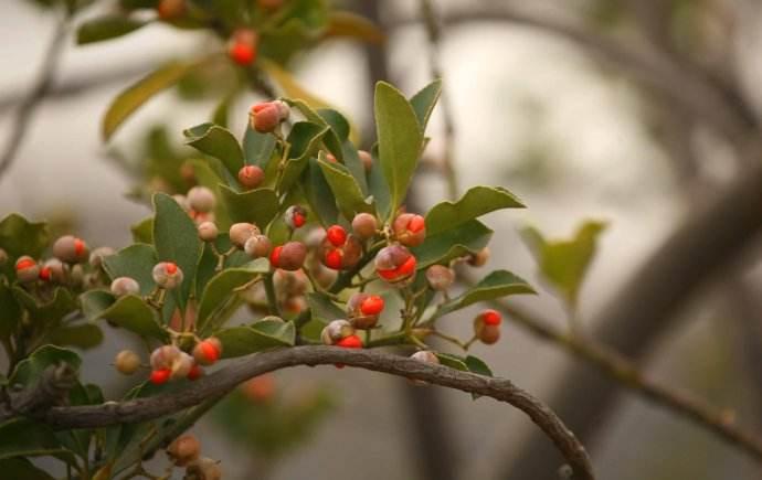 这种翠绿色色植物需内寄生于别的花草树木才可生存,但它当药会袪风湿病、滋阴益气养血