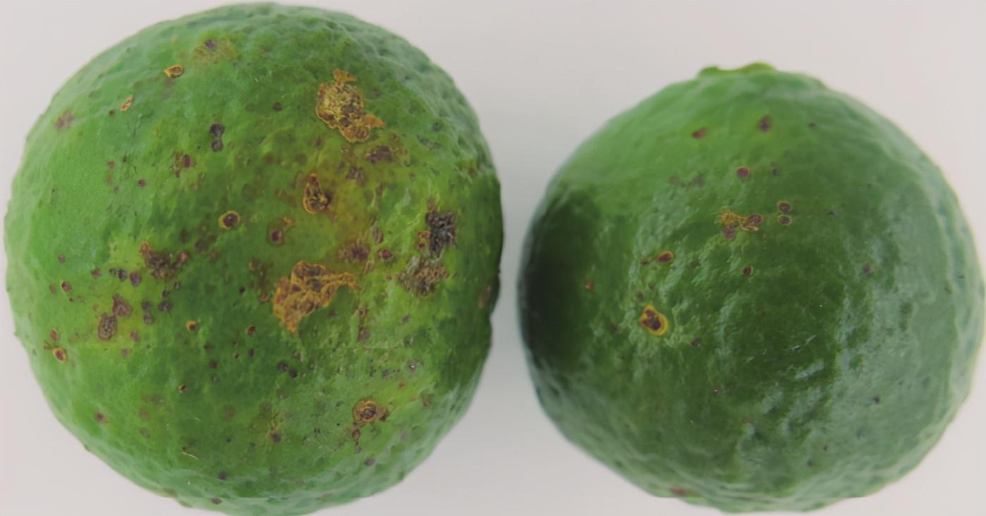柑橘褐斑病高发季节,果农如果防治不力,全园都可能沦陷