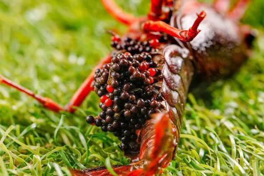 冬季田里没虾苗?可能是之前种虾抱卵孵化出了问题?如何处理?