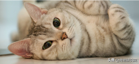 如果貓咪有以下五種癥狀,說明她到了發情期,請提前做好準備