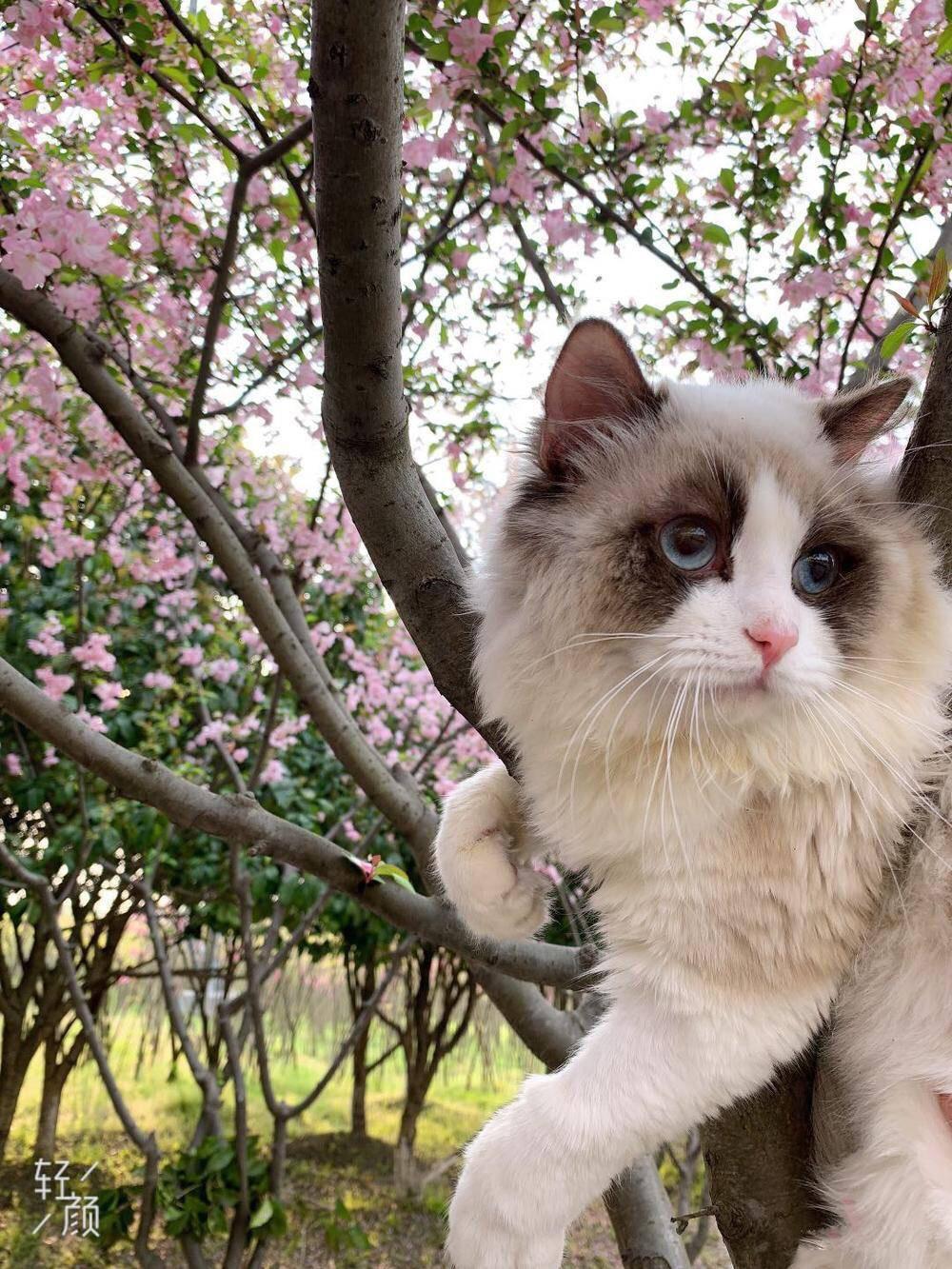 树上长出布偶猫啦!它吊在树上的样子萌得我一颤一颤的,好想养