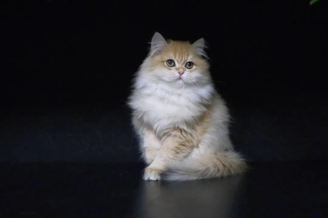 鏟屎官必修課:貓咪發情那些事