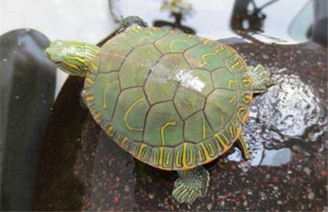 普及一下常见乌龟
