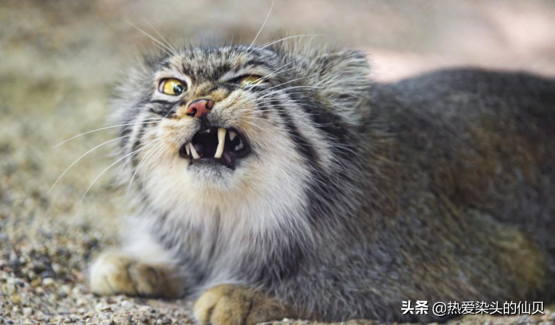 说我是表情帝,实际上我很凶,猫科动物中的