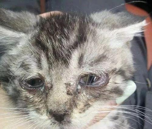 猫感冒猫鼻支你还傻傻分不清吗?怎么对付猫鼻支呢?