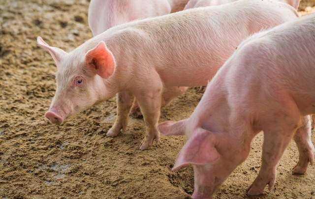 """猪价、蛋价""""绝地反弹"""",饲料大涨1000元,年后还能补栏吗?"""