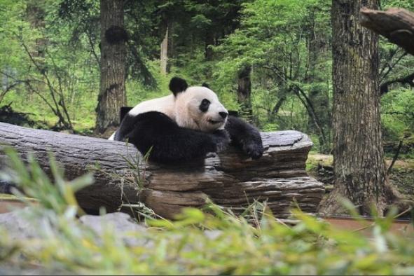 中国大熊猫一家三口将要回国,日本着急了!积极与中国沟通望延期