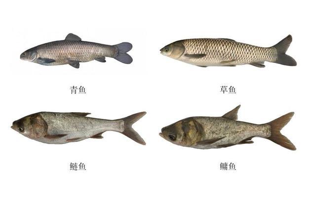 """鲤科鱼类""""六大鱼类""""的生物学特征和辨析:草鲢鳙青和鲤鱼、鲫鱼"""