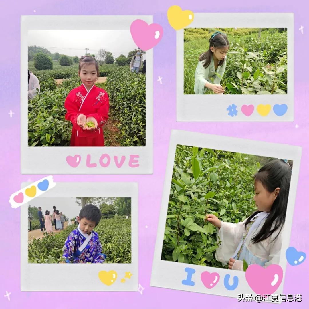 四月茶园沁芬芳,同学师生采茶忙,一起去江夏郑家山茶园采茶吧