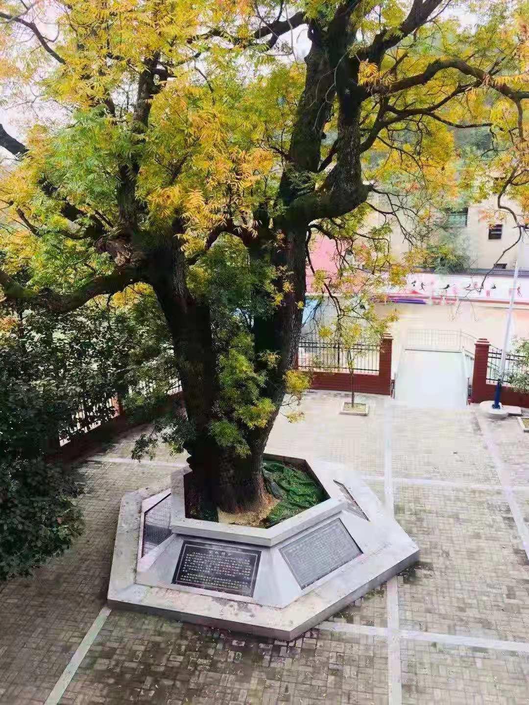 新民的黄连古树