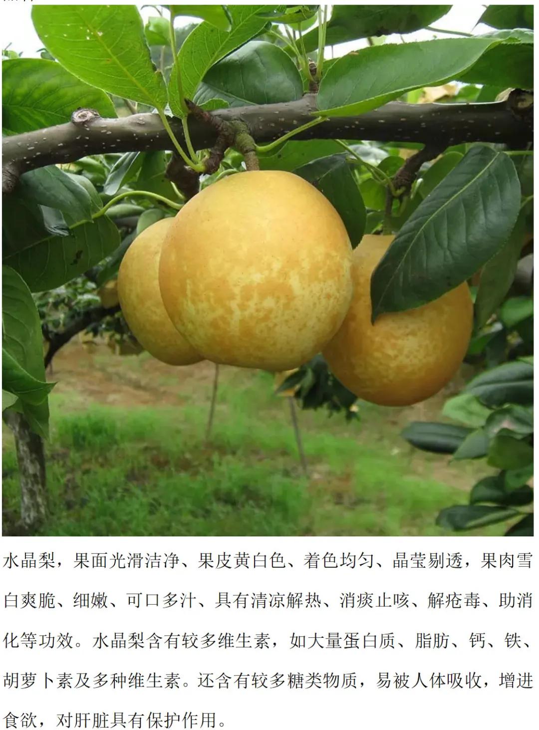 会员入驻 连州水晶梨:清甜多汁、果肉洁白