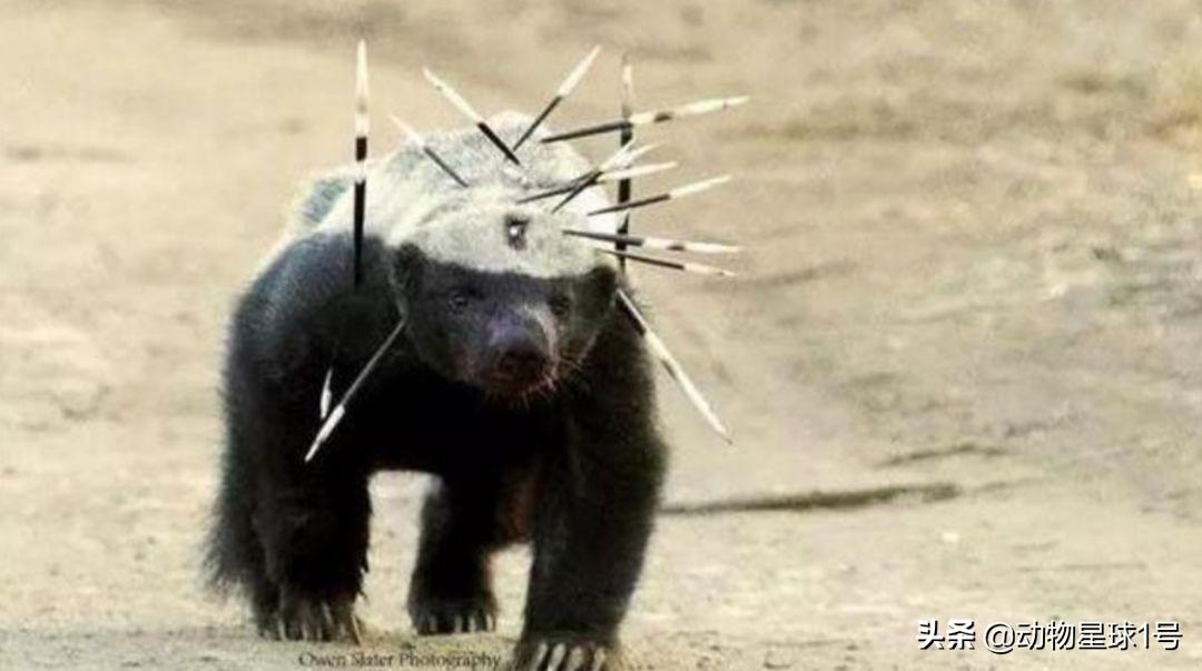 """""""平头哥""""蜜獾的江湖传说:草原上的古惑仔,动物界的战斗机"""