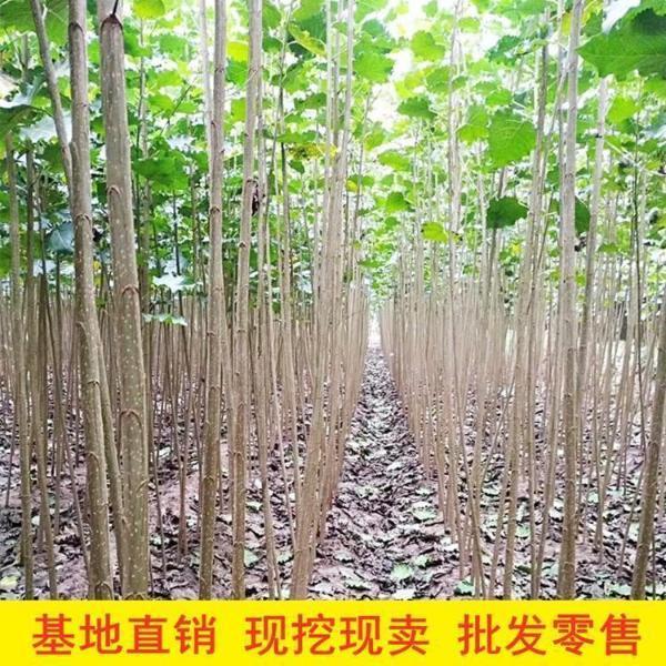 2-4米高白杨树苗_精选白杨树苗供应-美洋洋绿化