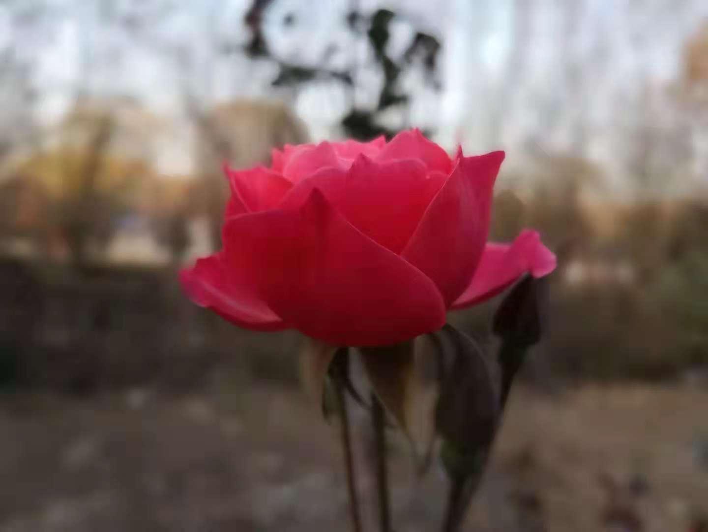 寒冬月季花