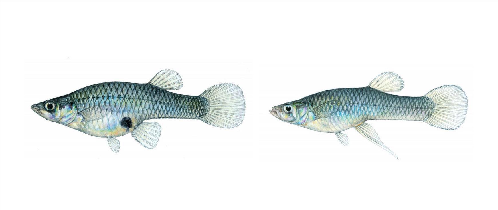 食蚊鱼向北方挺进,一年繁殖5次,能吞下罗非鱼 专家:已发生变异
