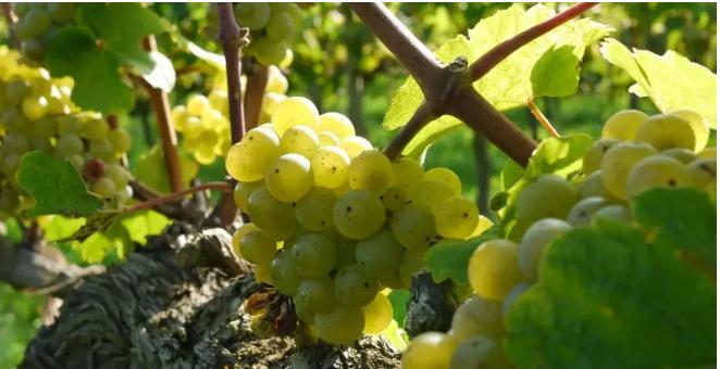 葡萄酒中的这个神奇物质,你了解吗?