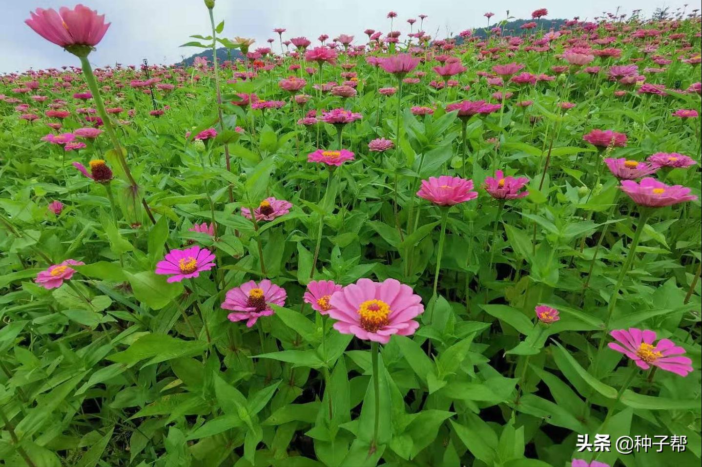 百日草為什麼稱作是「步步高」,百日草的種植方法和注意事項