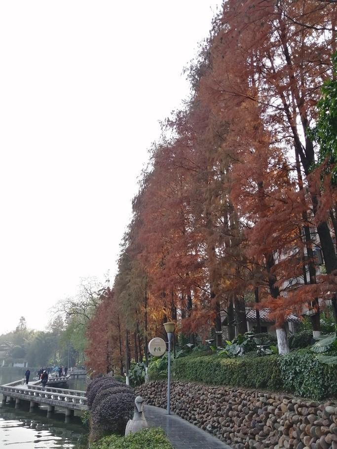桂林杉湖边,那一排红红的杉树,与日月塔媲美