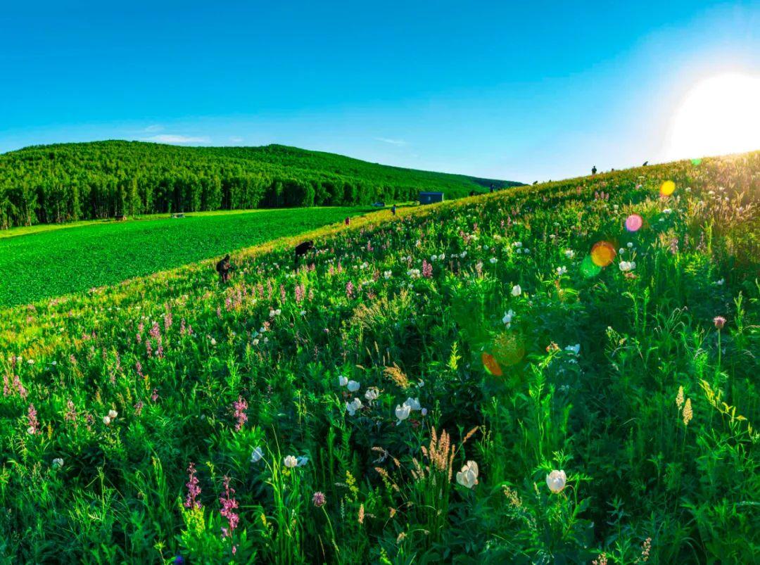 呼伦贝尔撒欢农场:到此赏花正当时