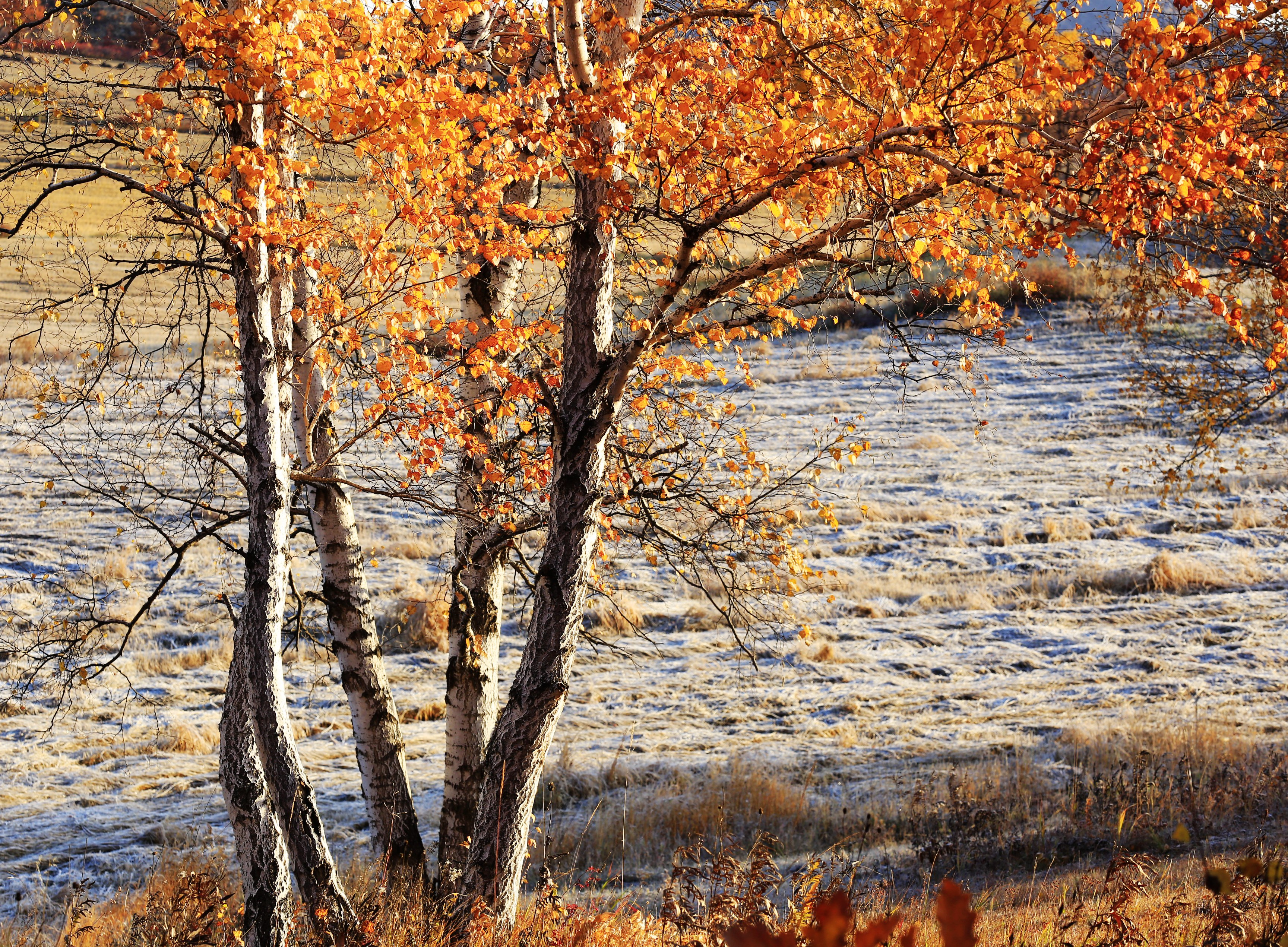 张跃摄影:在乌兰布统,也有着叶赛宁一样的白桦