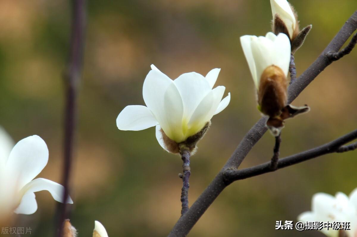 拍玉蘭花的3個技巧,攝影新手一學就會,玉蘭花不難拍