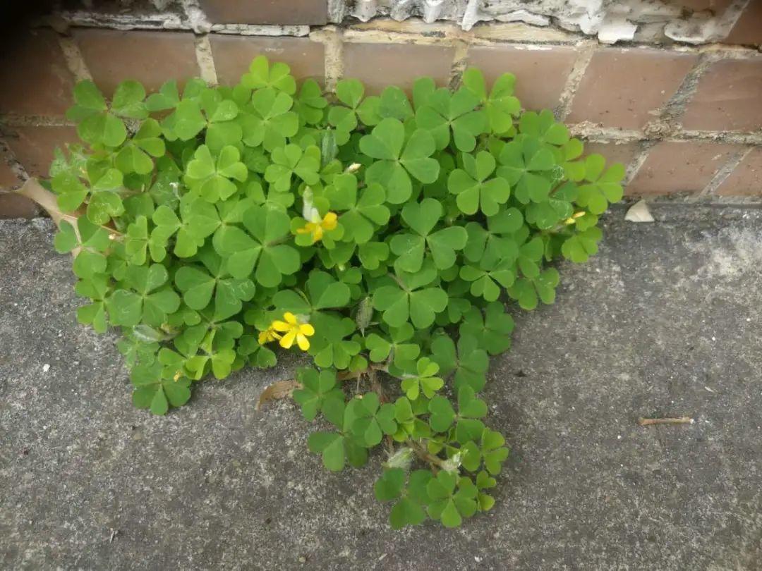 院子长出9种草,看到就铲除,留着就是大祸害 养花小妙招 第1张