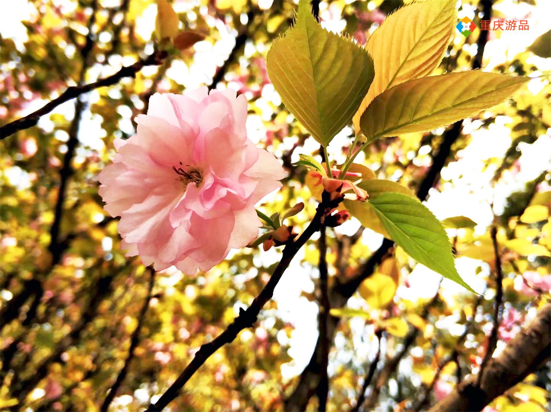 惊蛰踏春出游,看腻了姹紫嫣红?重庆路边的这些小花也超养眼