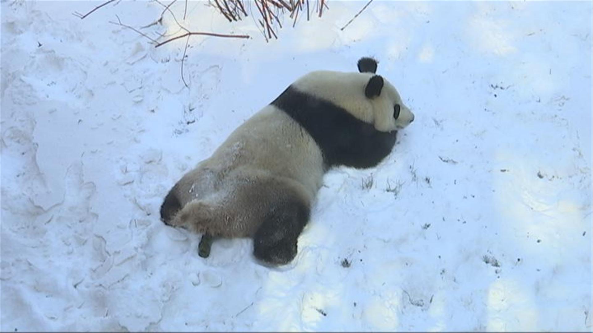 """大熊猫东北过冬!雪地里开""""吃播""""尽显""""吃货""""本色"""
