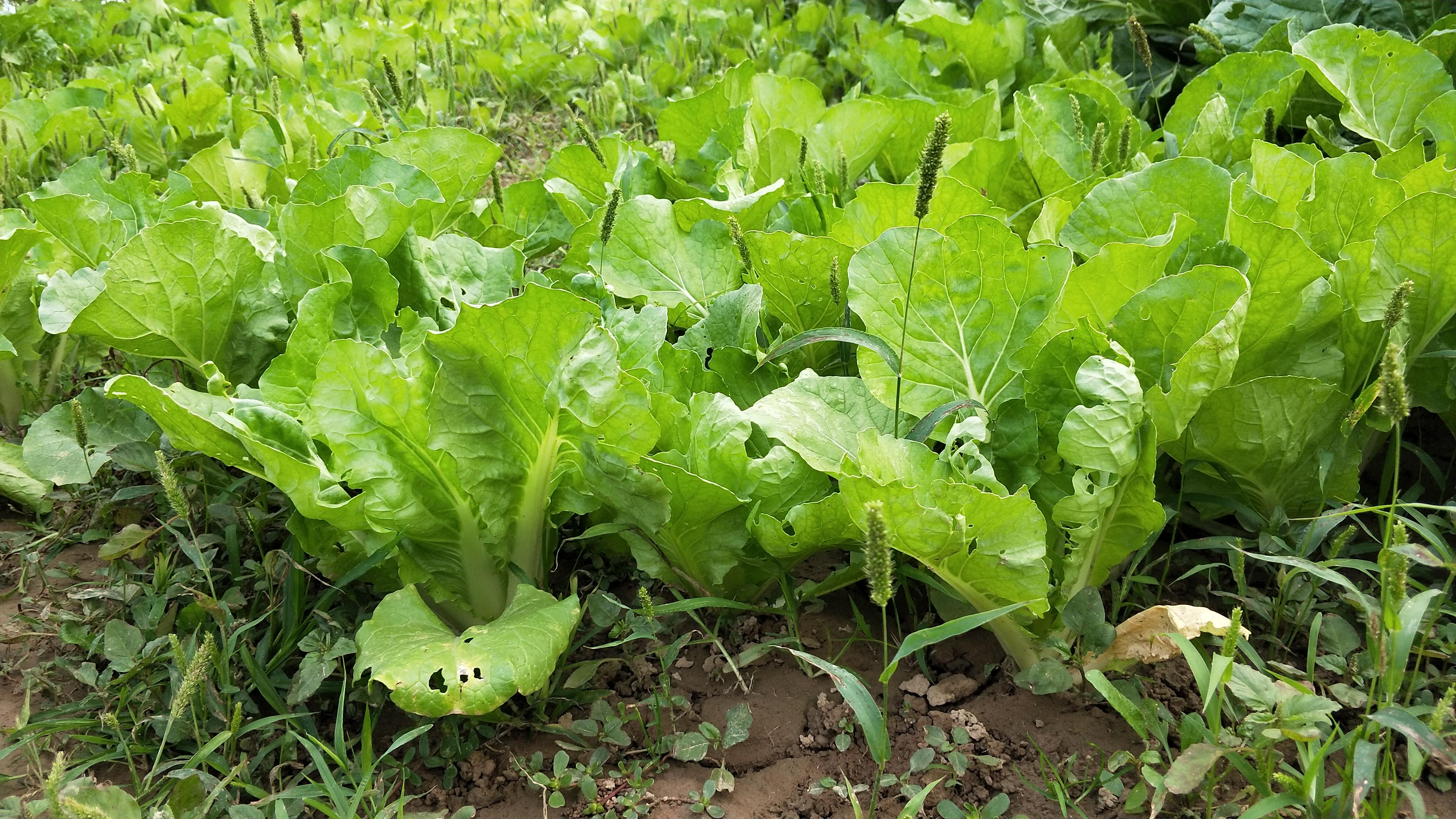 种青菜总是长不好?原来浇水的方法出了问