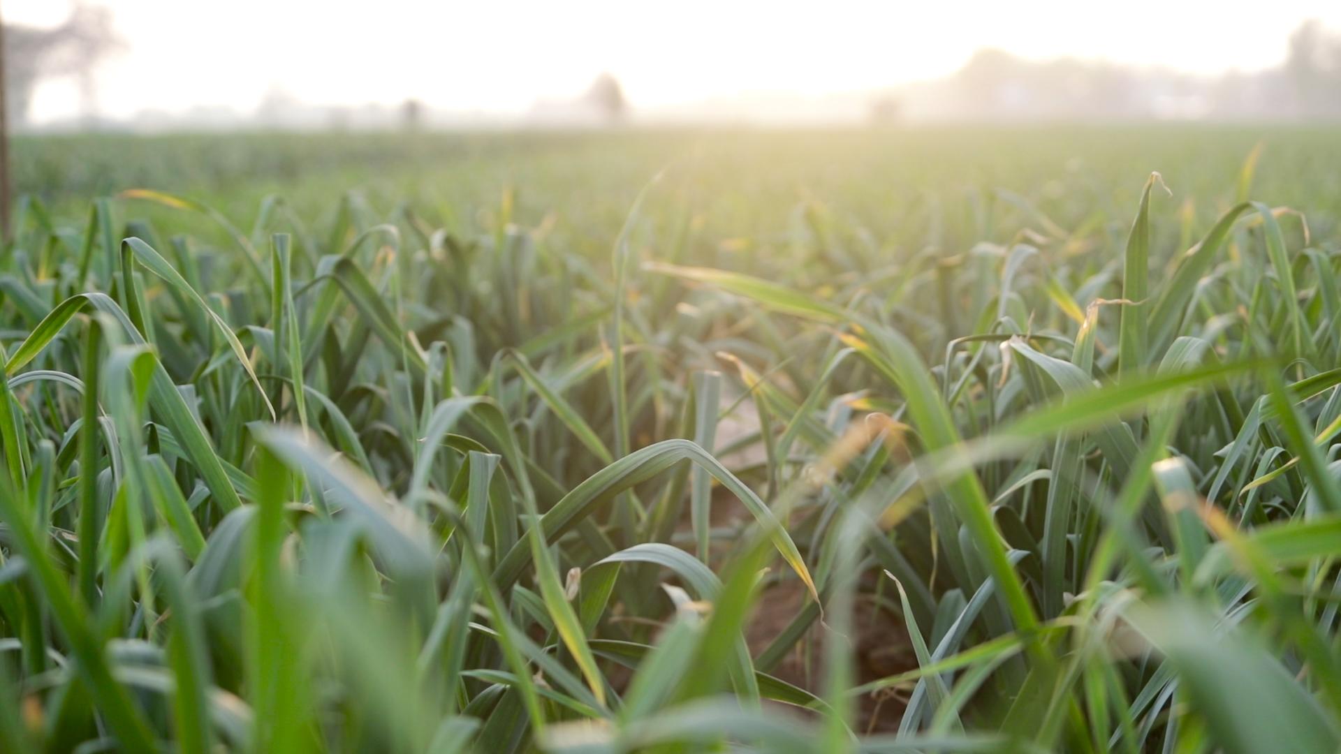 大蒜播种前,做好一点,防病防虫,产量