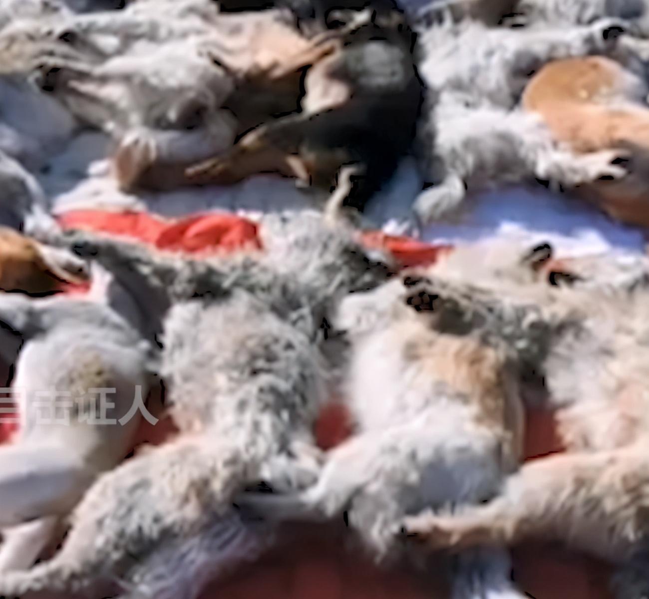 翻墙投毒!内蒙古一救助站十几只狗被毒死,工作人员抱着狗崩溃大哭